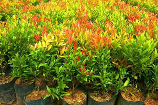Supplier tanaman kuncup merah