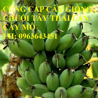Cung cấp cây giống chuối cấy mô: Chuối tây Thái Lan, chuối mốc thái, chuối xiêm, chuối sứ, uy tín