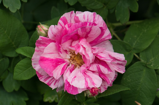 Rosa gallica var. officinalis 'Versicolor'