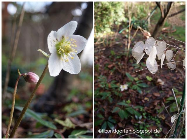 Christrosenblüte und Silberblatt