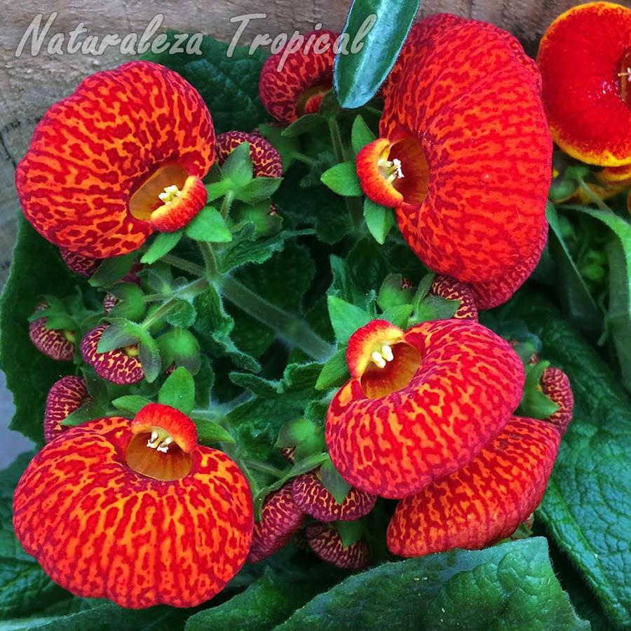 Floración de una planta Zapatillas de Venus, género Calceolaria. Flores rojas con líneas anaranjadas