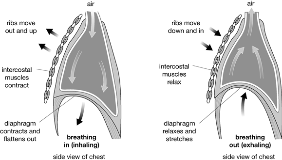 the diagram below shows inhalation and exhalation