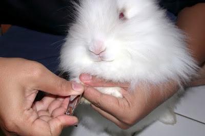 Pentingnnya merawat keseghatan kuku kelinci