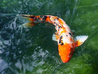Ikan Koi Enaknya Dimasak Apa