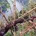 Impulsar a recuperación das áreas da Ribeira Sacra afectadas pola saraiba