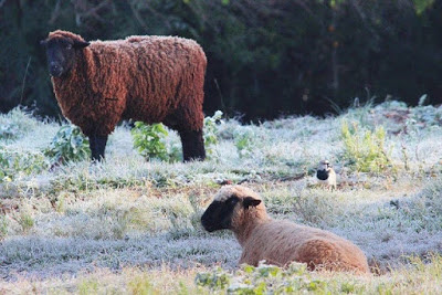 A foto mostra as ovelhas sobre a neve porque o pasto já virou gelo no RS,