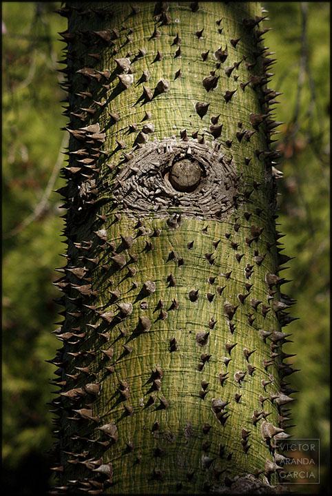 Fotografía del tronco espinado de un árbol de la especie ceiba speciosa