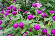 Khasiat Bunga Kenop Untuk Mengobati  Asma Buang Air Kecil Tidak Lancar Bronkhitis Disentri Panas Dalam