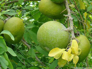 Bael fruit images wallpaper