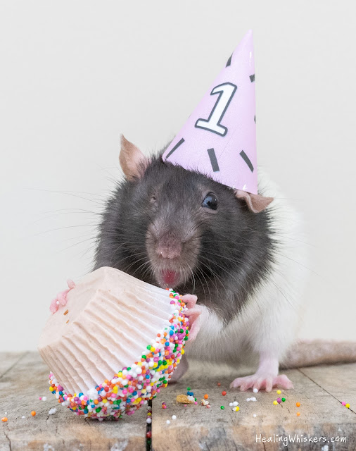 Juniper the rat celebrating her 1st gotcha day