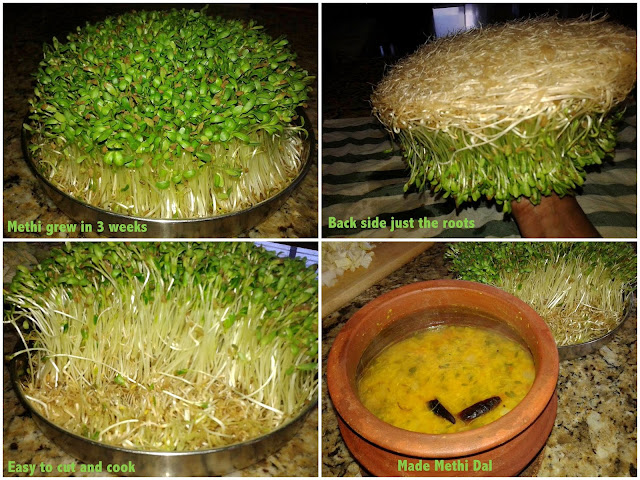 images of How to grow Methi Leaves Without Soil
