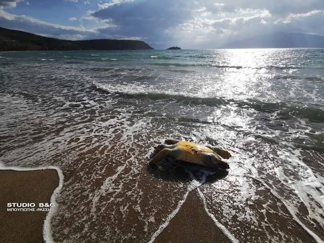Δυο νεκρές θαλάσσιες χελώνες σε παραλία του Ναυπλίου