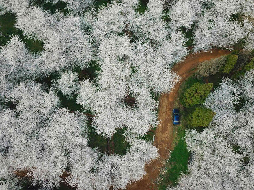 22 Magical Photos Of Cherry Blossoms That Have Just Bloomed In China