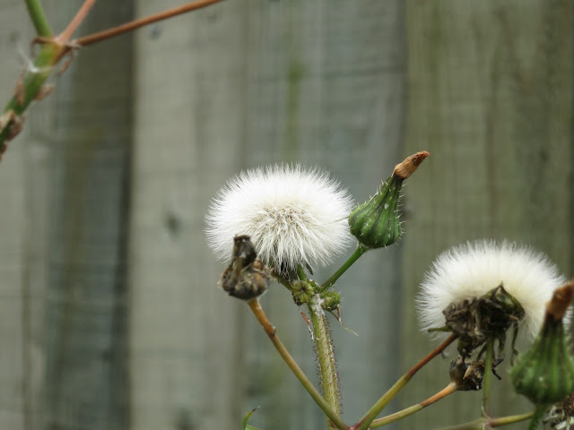 Seedhead clocks in front of wooden fence.