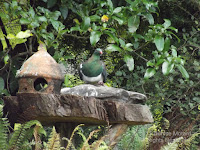 New Zealand pigeon at rustic stone water container - Te Kainga Marire, New Plymouth, NZ, by Denise Motard