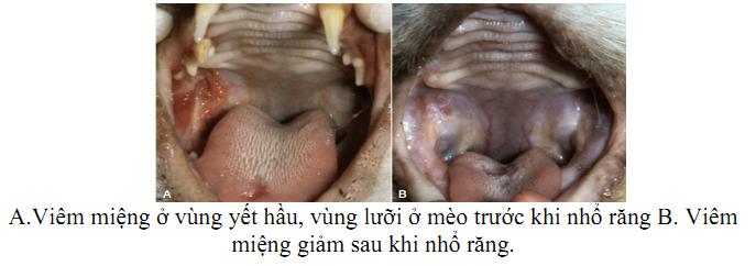 Hình 4: Viêm miệng khi nhiễm FIV