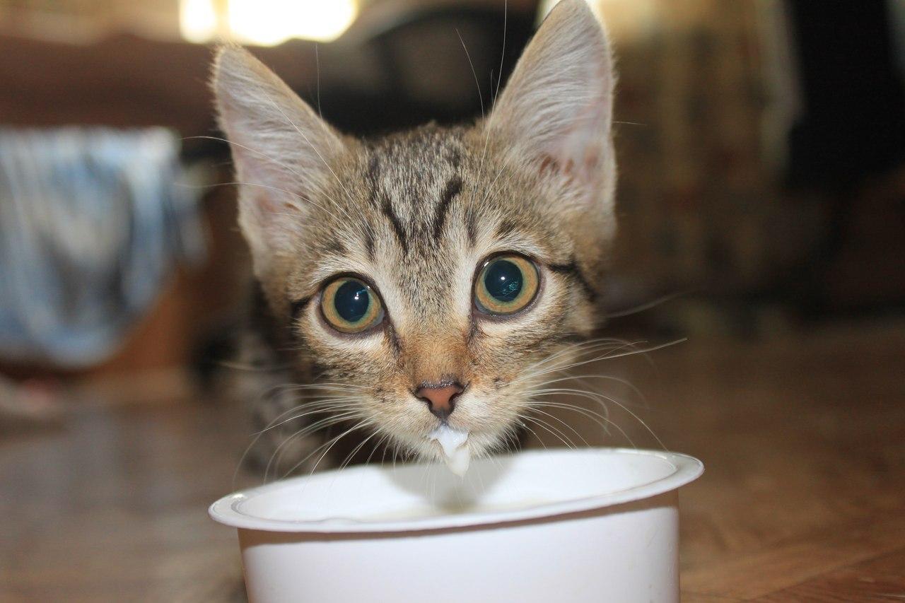 Картинки для, картинки кошка с котенком пьют молоко