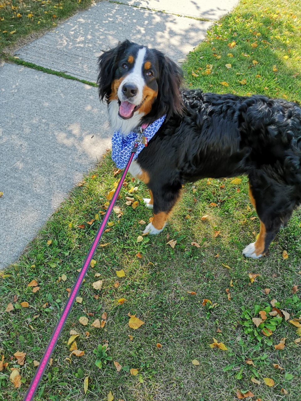 What To Know Before Getting A Bernese Mountain Dog