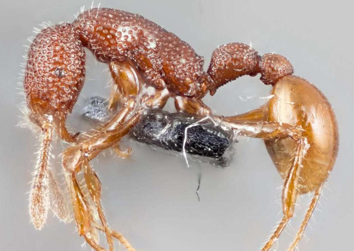 The Tyrannomyrmex rex (Trex) ant