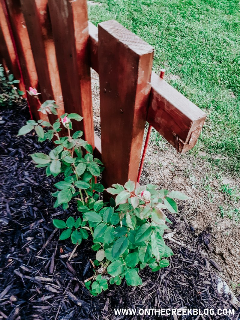 Roses around my rustic fence!