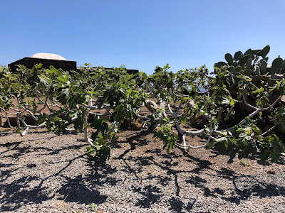 Example of cultivation that show low-to-the-ground training of a fig tree.