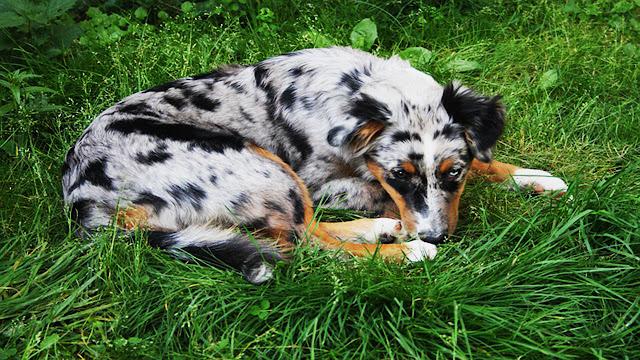 le berger australien est un chien très énergique qui a besoin, en