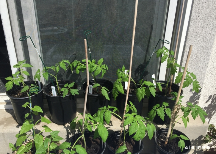 Tomato seedlings sunning themselves on a patio // www.thejoyblog.net
