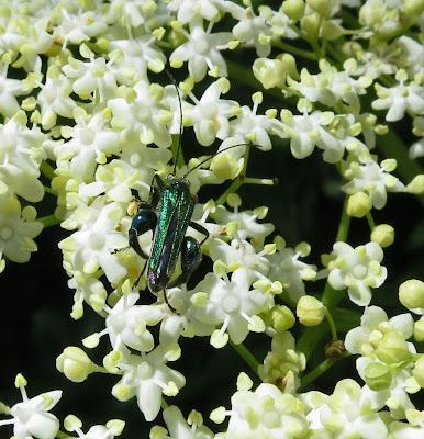 SWOLLEN-THIGHED BEETLE (Oedemera (Oedemera) nobilis