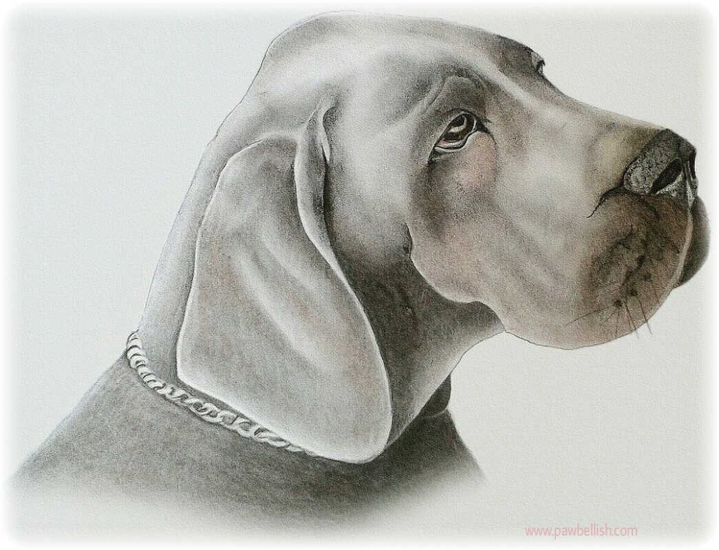 Weimaraner enjoying art