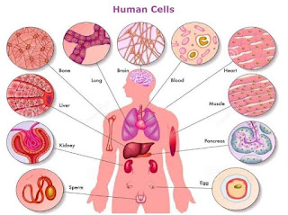 Human cell, anatomy of cell, cell is defined as the basic units of life, how to supply your cells of what they need while keeping them off what they don't need, What is cell, Descriptions of human cell, how many cell does our body produce per day, building and operating healthy cell