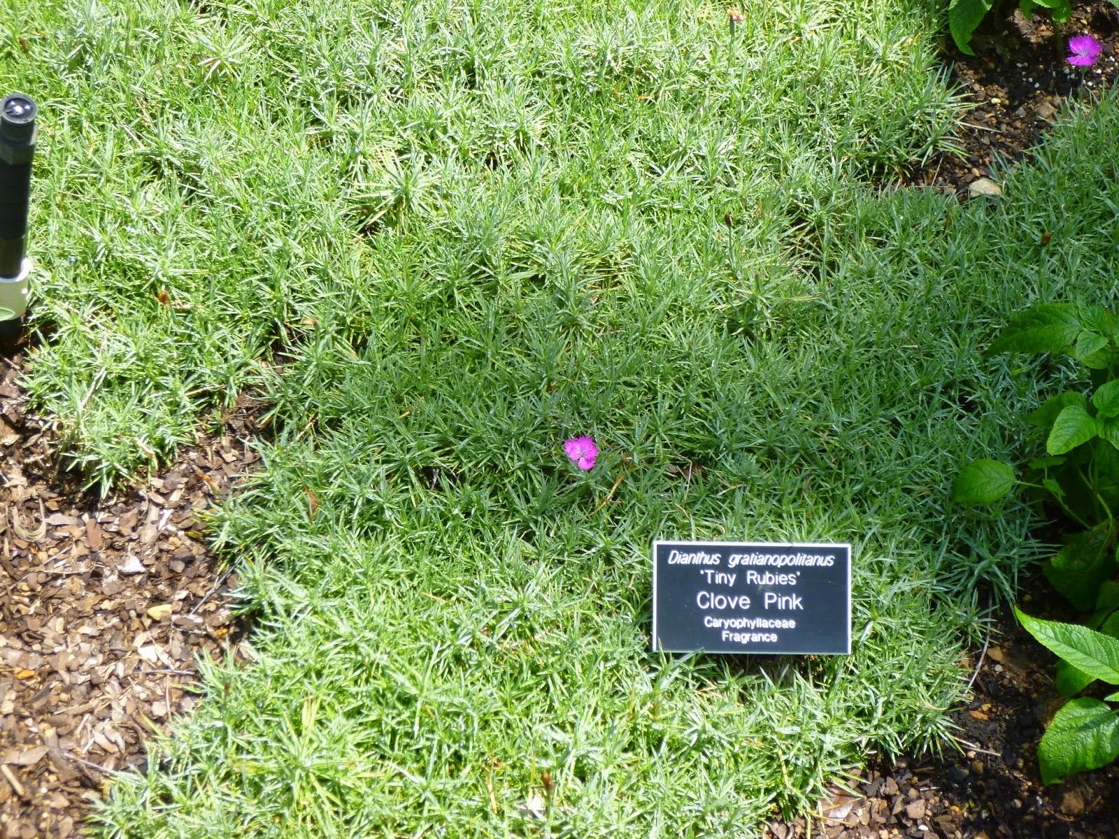 Dianthus gratianopolitanus as groundcover