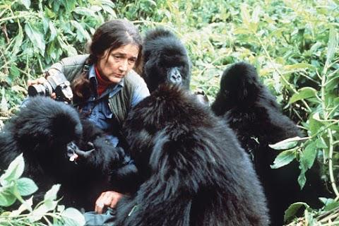 Vélhetően elpusztult a Dian Fossey által tanulmányozott gorillacsapat utolsó tagja is