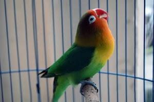 Download Suara Burung Lovebird Ngekek Gacor Dor Lengkap [MP3]