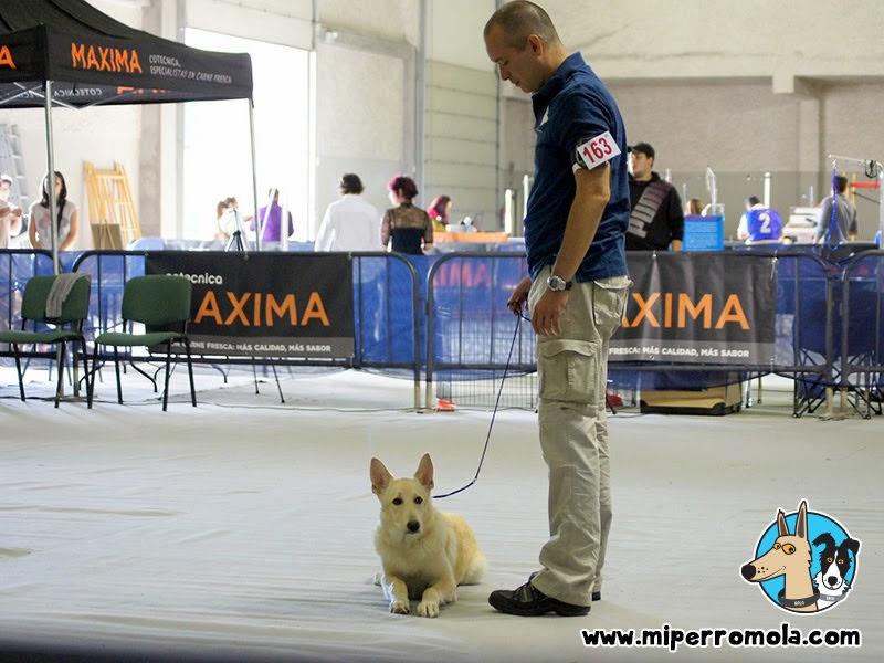 Can de Palleiro participando en el el San Froilan Dog Show