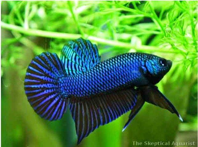 Ini Dia Ciri Fisik Ikan Cupang Adu Gaya Bertarung Fighter