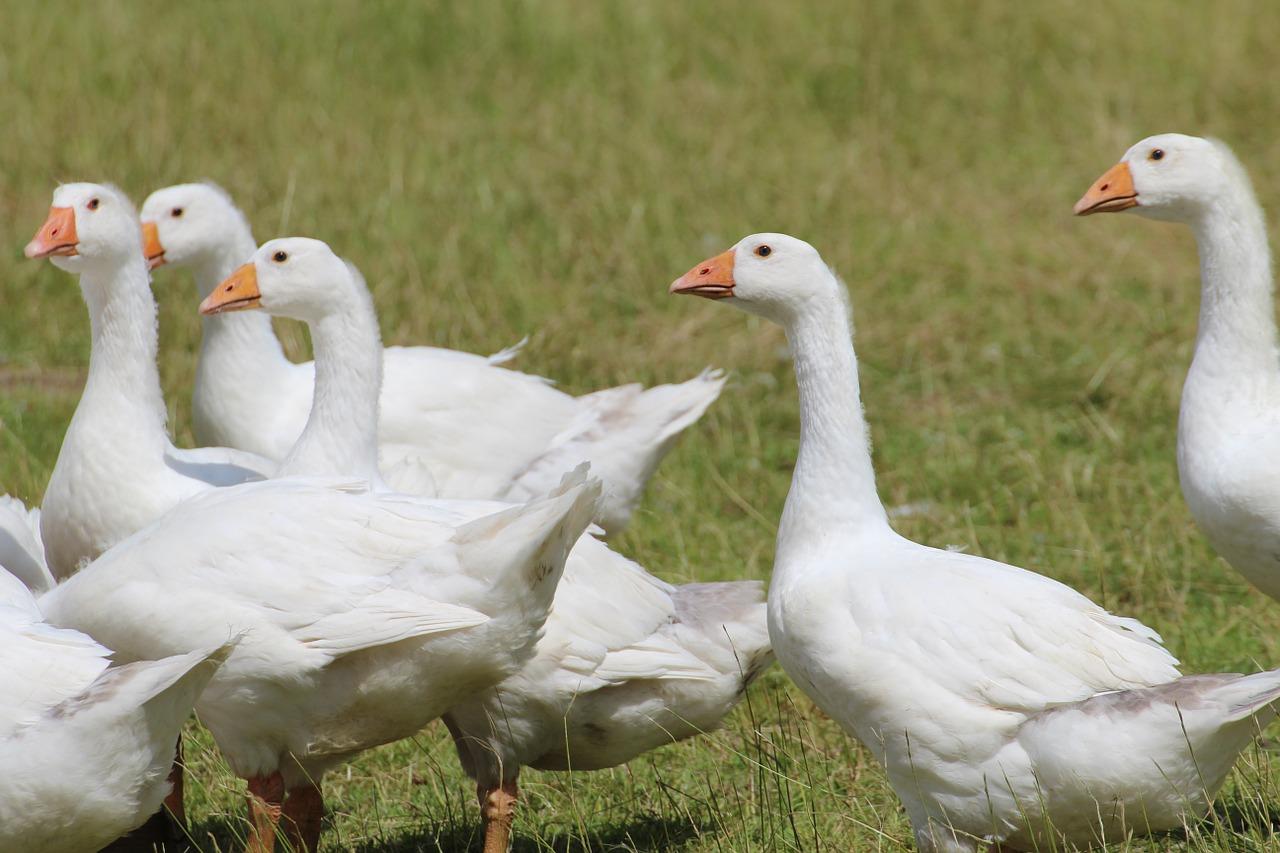 Hím kakasok erekció nélkül - Sperma A Kézben