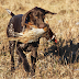 German Shorthaired Pointers Hunting Instincts