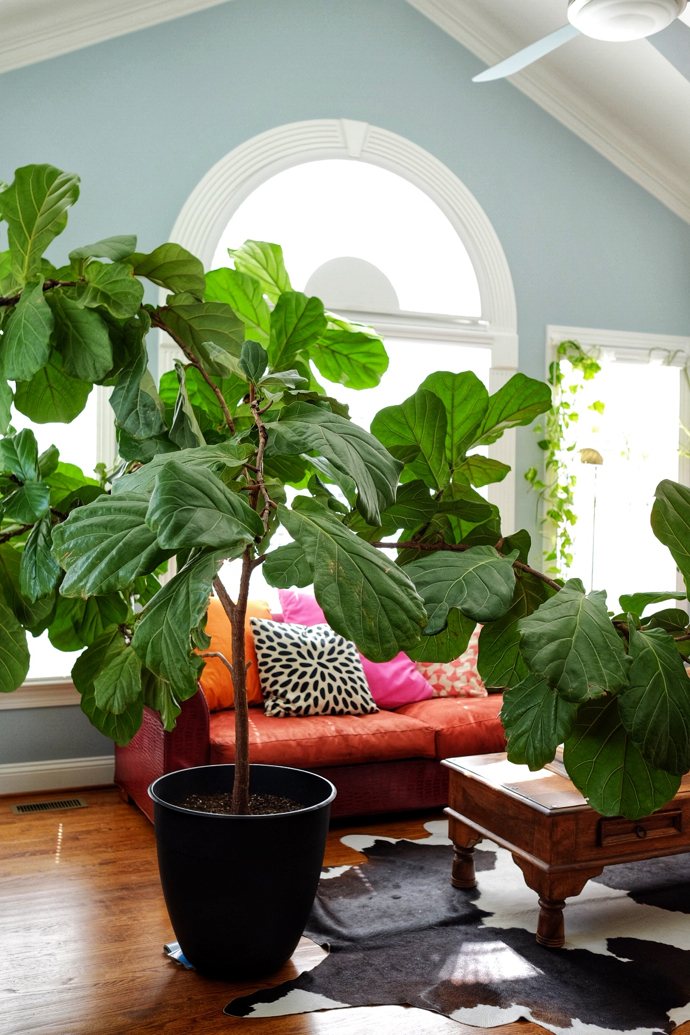 This is one majestic fiddle leaf fig!- design addict mom #plants