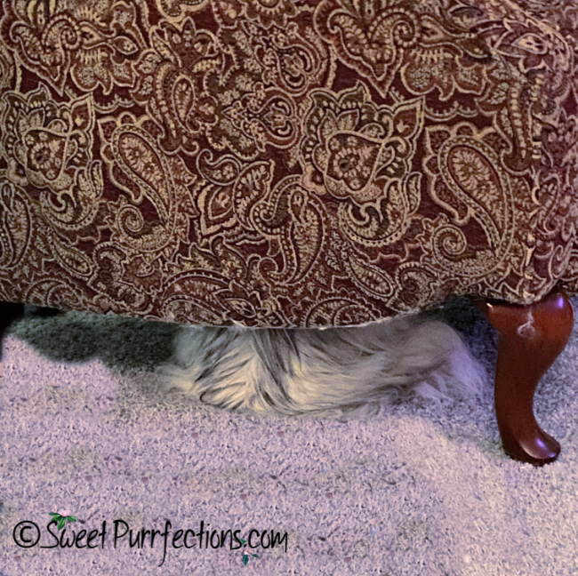 Silver shaded Persian cat, Truffle, hiding under the chair