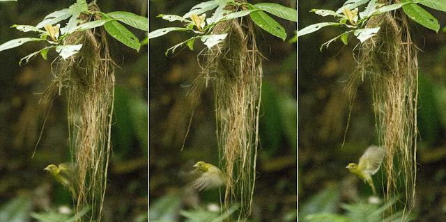 An Old World bird in a New World rainforest