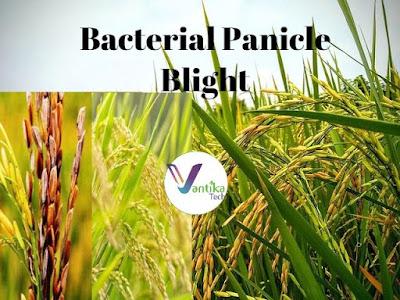 Bacterial panicle blight