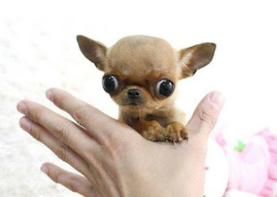 اصغر كلب في العالم