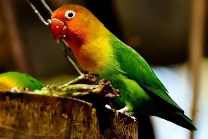 Trik Menjodohkan Burung Lovebird Paling Ampuh