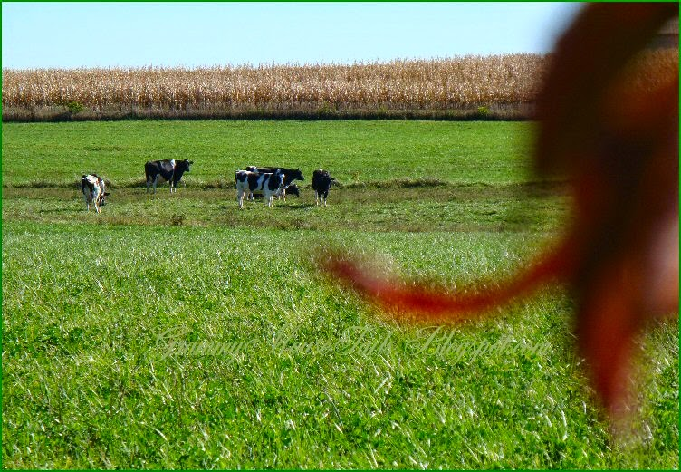 cows spying over fence - cows laying in corn field - harvest time photo