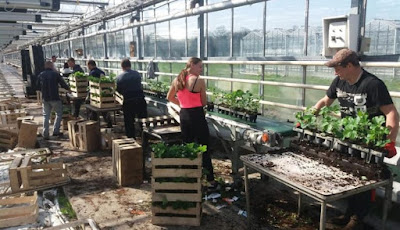 Έλληνες πτυχιούχοι αναζητούν δουλειά στις τουλίπες της Ολλανδίας