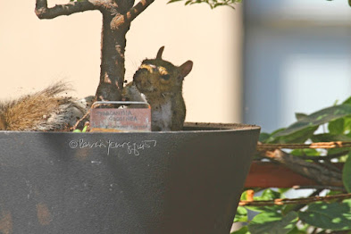 "This is a photograph features another view of the squirrel sitting in the container that is housing a shrub in my rooftop garden. My garden is the setting for my three volume book series, ""Words In Our Beak.""  (Info re the books is within a post on my blog @ https://www.thelastleafgardener.com/2018/10/one-sheet-book-series-info.html). Squirrels are not featured in  these books, but I have published info re them within other entries on this blog (@ https://www.thelastleafgardener.com/search?q=Squirrels)."