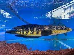 Ikan channa maru yellow sentarum