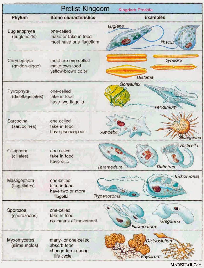 kingdom protista, bakteri protista, ciri protista, contoh protista, protista jamur