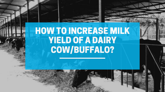 How to Increase Milk Yield of a Dairy Cow and Buffalo?
