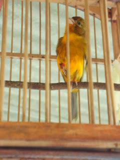 Ketebalan Bulu Burung Kenari - Kelebihan dan Kelemahan Burung Kenari Berdasarkan Ketebalan Bulu
